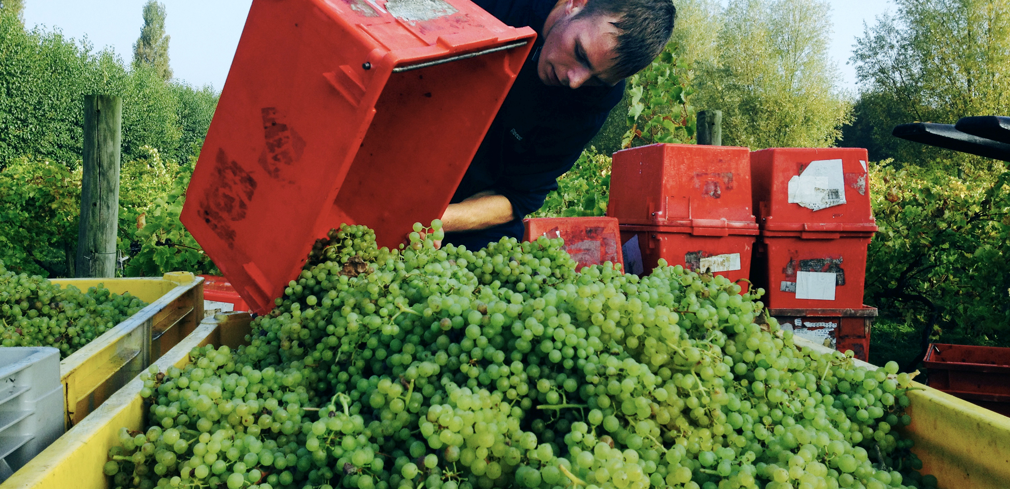 Grapes for sparkling wine production